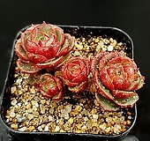 환엽롱기시마 10-165|Echeveria longissima