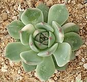 치와와금|Echeveria chihuahuaensis