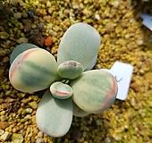 왕방울복랑금자구1|Cotyledon orbiculata cv variegated