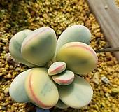 방울복랑금 자구3|Cotyledon orbiculata cv variegated