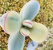 방울복랑금 자구4|Cotyledon orbiculata cv variegated