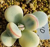 방울복랑금 자구5|Cotyledon orbiculata cv variegated