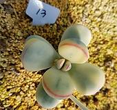 방울복랑금자구6|Cotyledon orbiculata cv variegated
