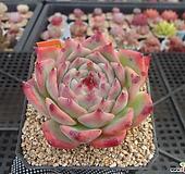 묵은치와와2-2875|Echeveria chihuahuaensis