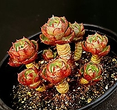 환엽롱기시마 10-504|Echeveria longissima