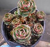 환엽롱기시마묵은군생 2019-1430|Echeveria longissima