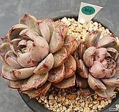 묵은환엽로망2두365|Echeveria lucidum Roman