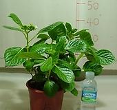 댄스파티수국5번-대품-황홀한꽃-동일품배송 Hydrangea macrophylla