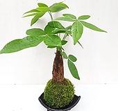 파키라 이끼볼 도자기수반 세트 실내화초 공기정화식물 가습식물 