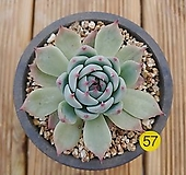 치와와 220 Y57|Echeveria chihuahuaensis