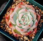 치와와*라우이 11-392|Echeveria chihuahuaensis