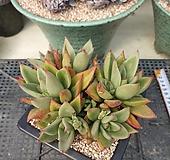 긴잎적성|Echeveria agavoides Akaihosi