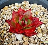짧은잎적성19|Echeveria agavoides Akaihosi
