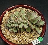 스트릭트플로라-7두(철화분지-2.21)|Echeveria strictiflora v nova
