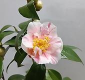 분홍빛 예술~무늬동백|