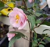 하동백.분홍,노각나무|