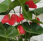 ♥안시리움 ♥공기정화식물|Anthurium andraeaeanum