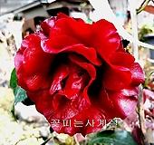 블랙매직동백(1)-동일품배송|