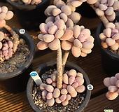 아메치스 970226|Graptopetalum amethystinum
