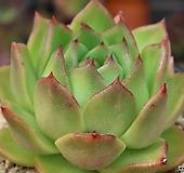 한스마리아(중품)새뿌리내리는중입니다|Echeveria agavoides Maria