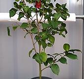 동백나무 4년생 화분|