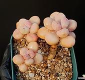 아메치스 15-161|Graptopetalum amethystinum