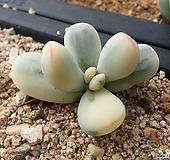 방울복랑금(대형종)..|Cotyledon orbiculata cv variegated