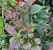 수국 핑크 특0024  Hydrangea macrophylla
