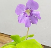 아그나타/벌레잡이제비꽃 /식충식물 