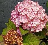 수국/신상품/미스사오리 Hydrangea macrophylla