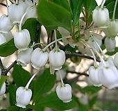 단풍철쭉(흰색)  