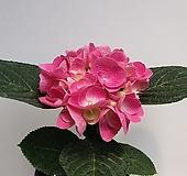 수국(진핑크) Hydrangea macrophylla