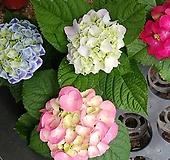 황홀한큰꽃수국-미니 Hydrangea macrophylla