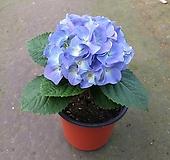수국(블루)/청수국/화단/노지월동 Hydrangea macrophylla
