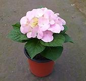 수국(연핑크)/화단/노지월동/12cm화분 Hydrangea macrophylla