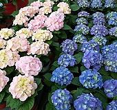 수국(블루+핑크)4개묶음/화단/노지월동/12cm화분 Hydrangea macrophylla