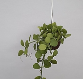 공중식물 디시디아 