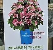 ♥수입목수국1 ♥촬영일 3월4일 Hydrangea macrophylla