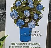 ♥수입목수국2 ♥촬영일 3월4일 Hydrangea macrophylla