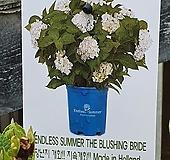 ♥수입목수국3 ♥촬영일 3월4일 Hydrangea macrophylla