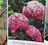 ♥목수국 아나벨라(핑크) ♥노지월동가능 Hydrangea macrophylla