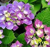 큰꽃수국-풍성한 대품 Hydrangea macrophylla