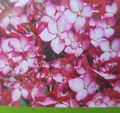 루비/아나벨수국 Hydrangea macrophylla