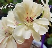 러쉬무어아마존(조날틱제라늄) Geranium/Pelargonium