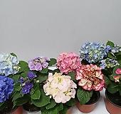 수국 1송이 Hydrangea macrophylla
