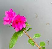 핑크스마일 철쭉 - 동일품배송 