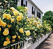 옐로우 사계 줄장미 넝쿨장미 화분상품♥노랑 HT 사계장미♥울타리 펜스 아치♥장미나무|