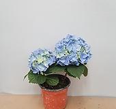 수국 블루 꽃대2~3대 Hydrangea macrophylla