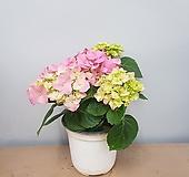 수국 핑크  꽃대2~3대 Hydrangea macrophylla