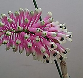 덴드로비움 스마일레.원종.석곡.토분사이즈아주좋은상품.꽃이 특이하고 꽃색상 핑크색 예뻐요~.인기상품.상태굿.꽃대.|